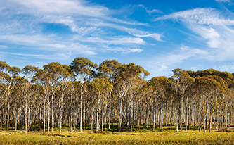 Lyocell - Forests - Eucalyptus Trees